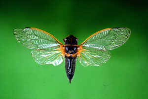 Close up of a Cicada with it's wings spread.