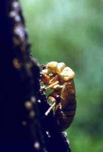 Close up of Cicada ballooning out of it's shell on a tree trunk.