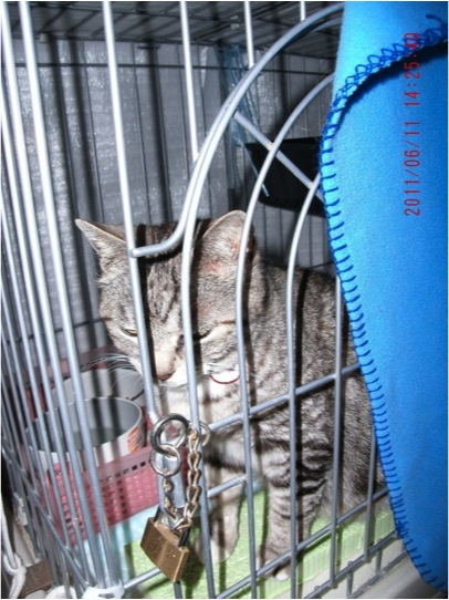 A quake survivor's cat is locked in a cage at an evacuation center in Fukushima Prefecture.