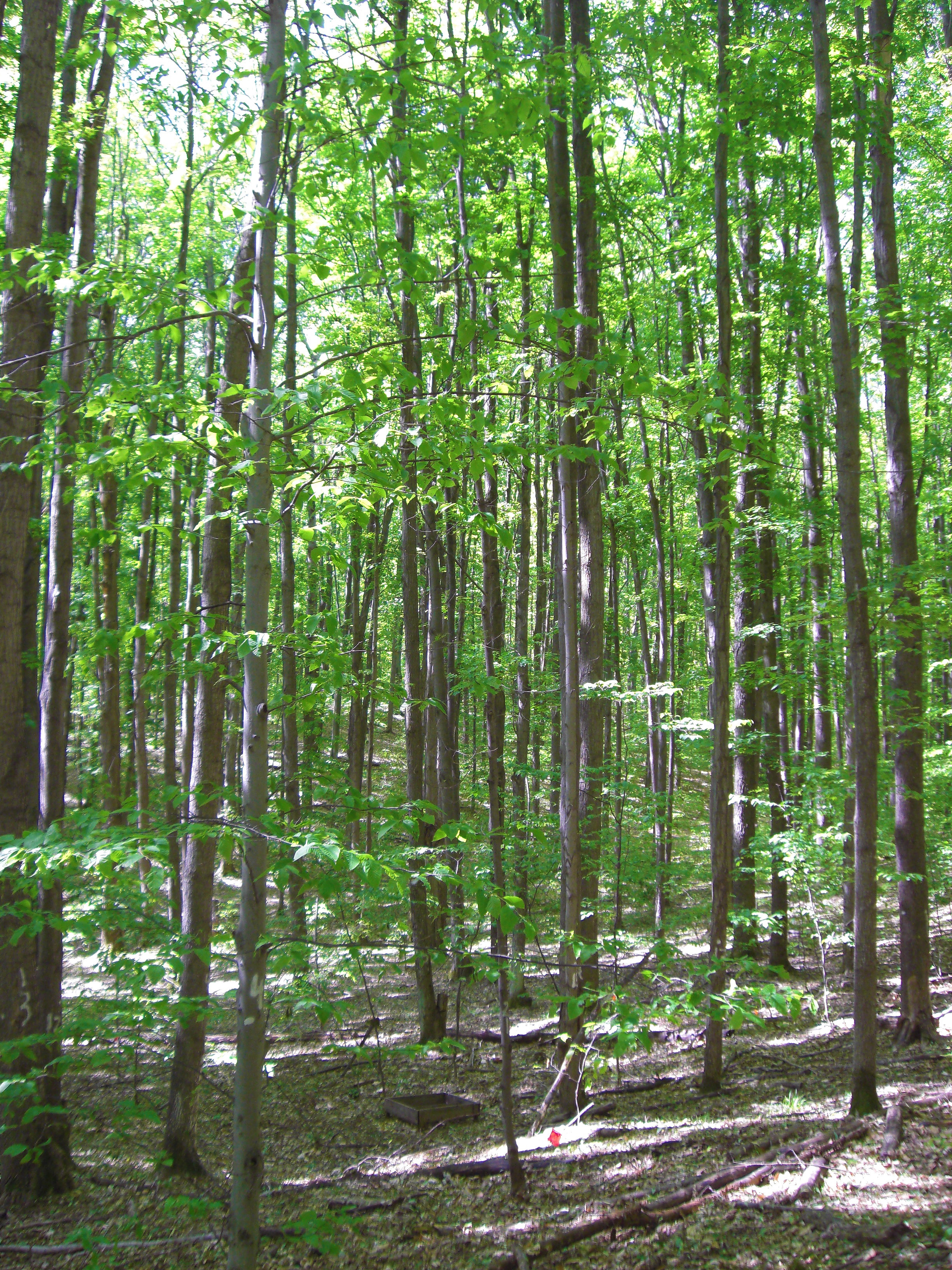 A stand of Michigan sugar maples. Photo courtesy of Sierra Patterson and Alan Talhelm