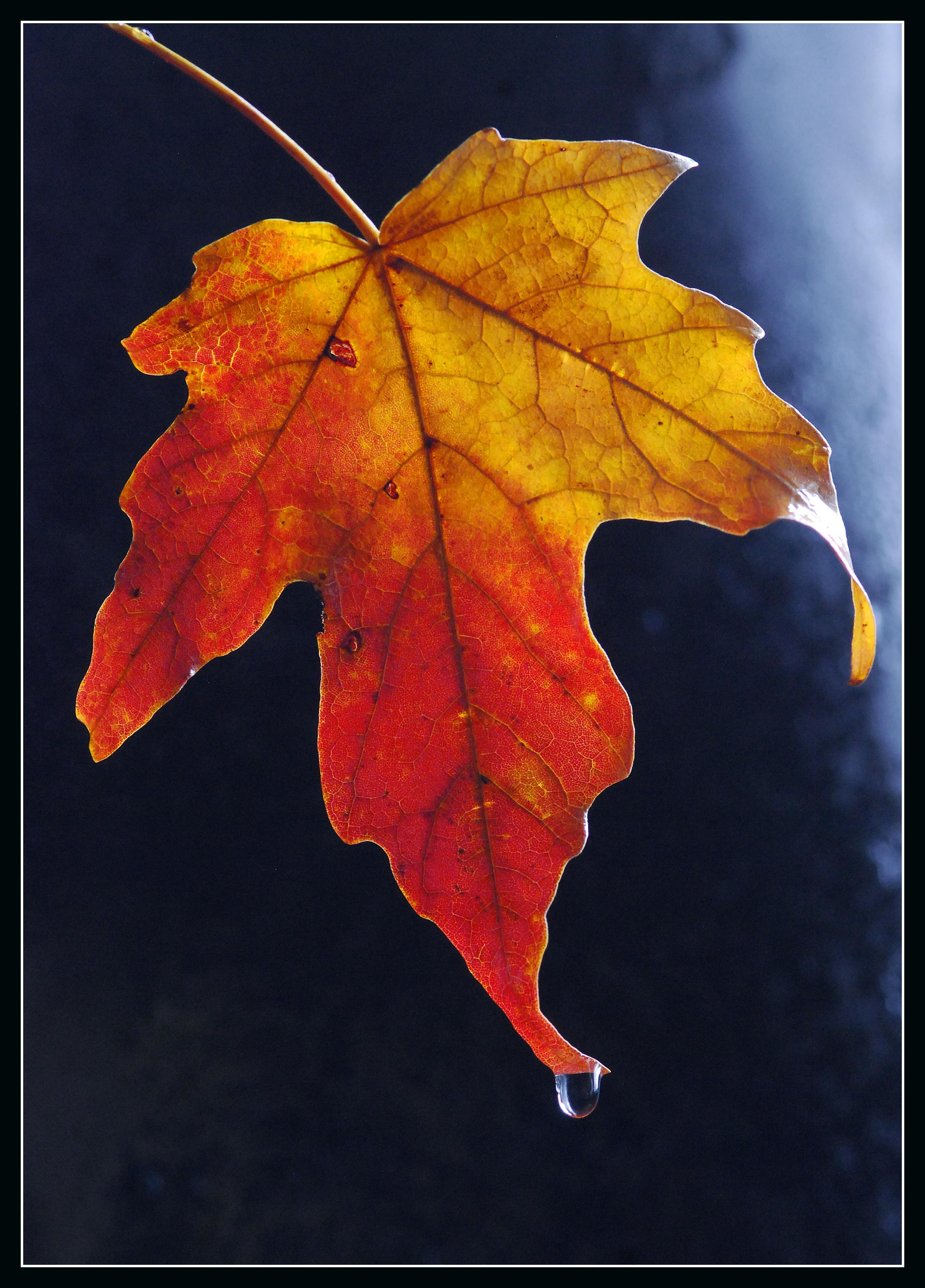 Sugar maple leaf. Photo courtesy of flickr.com user tlindenbaum