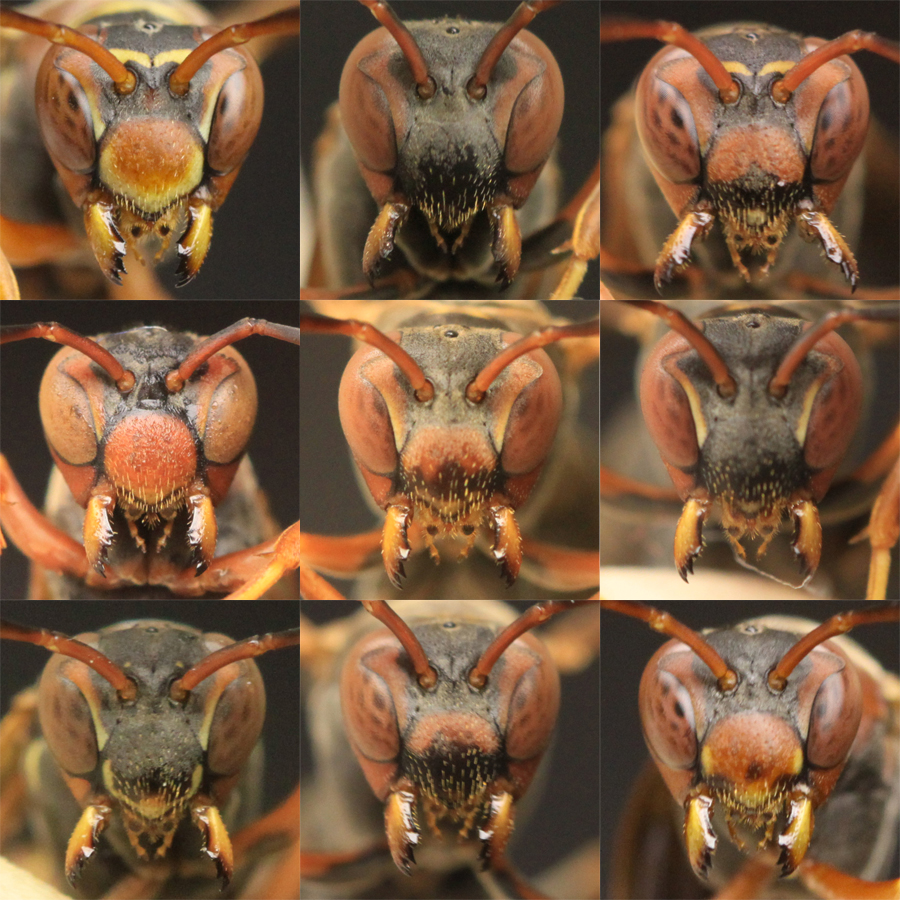 Polistes fuscatus paper wasps have extremely variable facial patterns that they use to recognize each other as individuals. This montage displays some of the variation seen in female paper wasp faces in this species. Credit: Michael Sheehan
