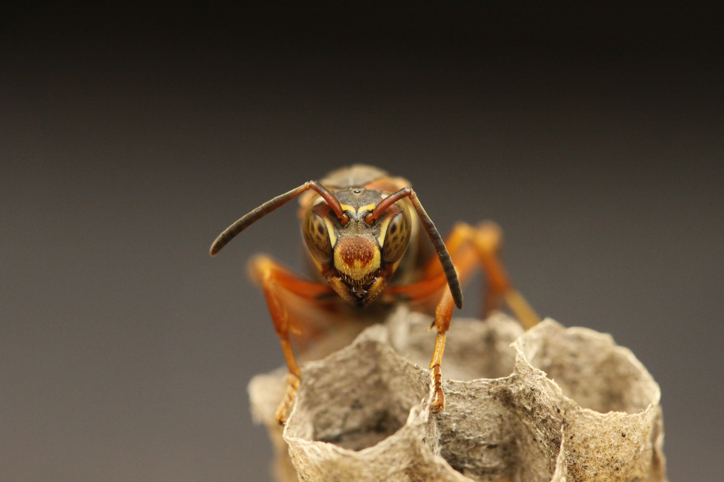 Like humans, Polistes fuscatus paper wasps recognize individuals by their unique facial patterns. This photo shows a paper wasp queen on an early nest. Credit: Michael Sheehan