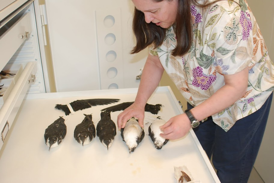 Janet Hinshaw, collection manager of the bird division at the U-M Museum of Zoology, with five Newell's shearwater specimens stuffed for the museum's research collection. Image credit: Dale Austin