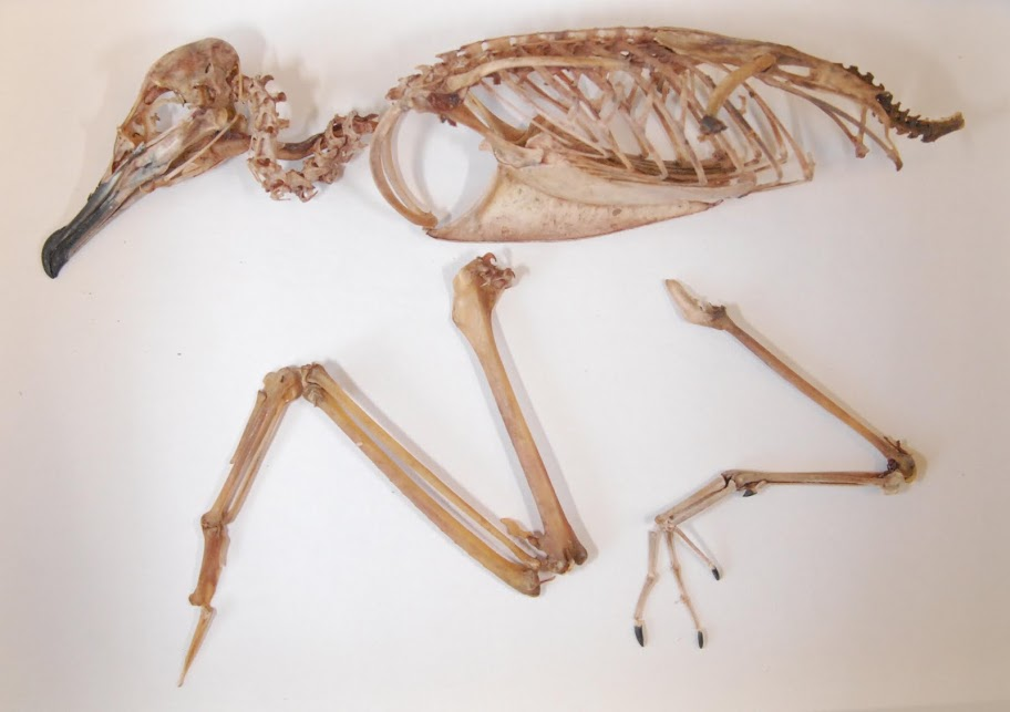 A Newell's shearwater skeleton. Photo by Janet Hinshaw