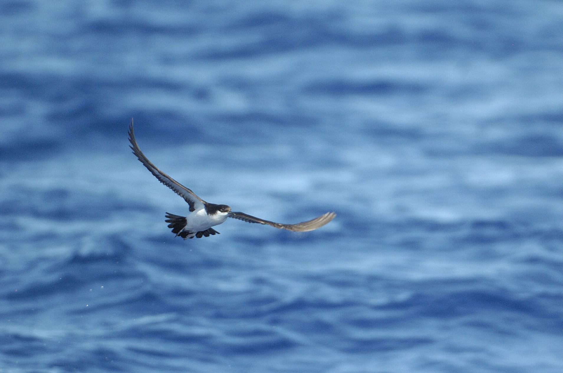 A Newell's shearwater in flight. Image credit: Photo by Jim Denny / Kaua`i Birding Tours, LLC