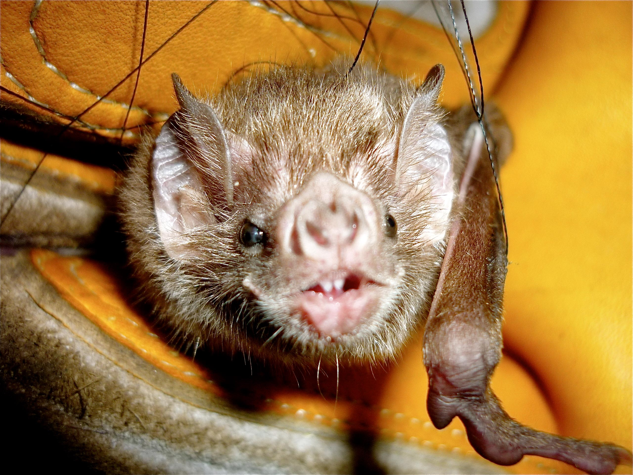 Close-up of a common vampire bat. Credit: Oscar Centty, National University of San Marcos.