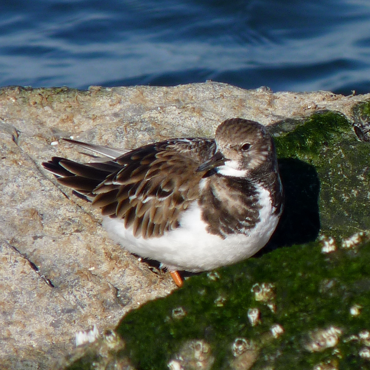 Photo of a ruddy turnstone. Image credit: flickr.com user Dendroica cerulea