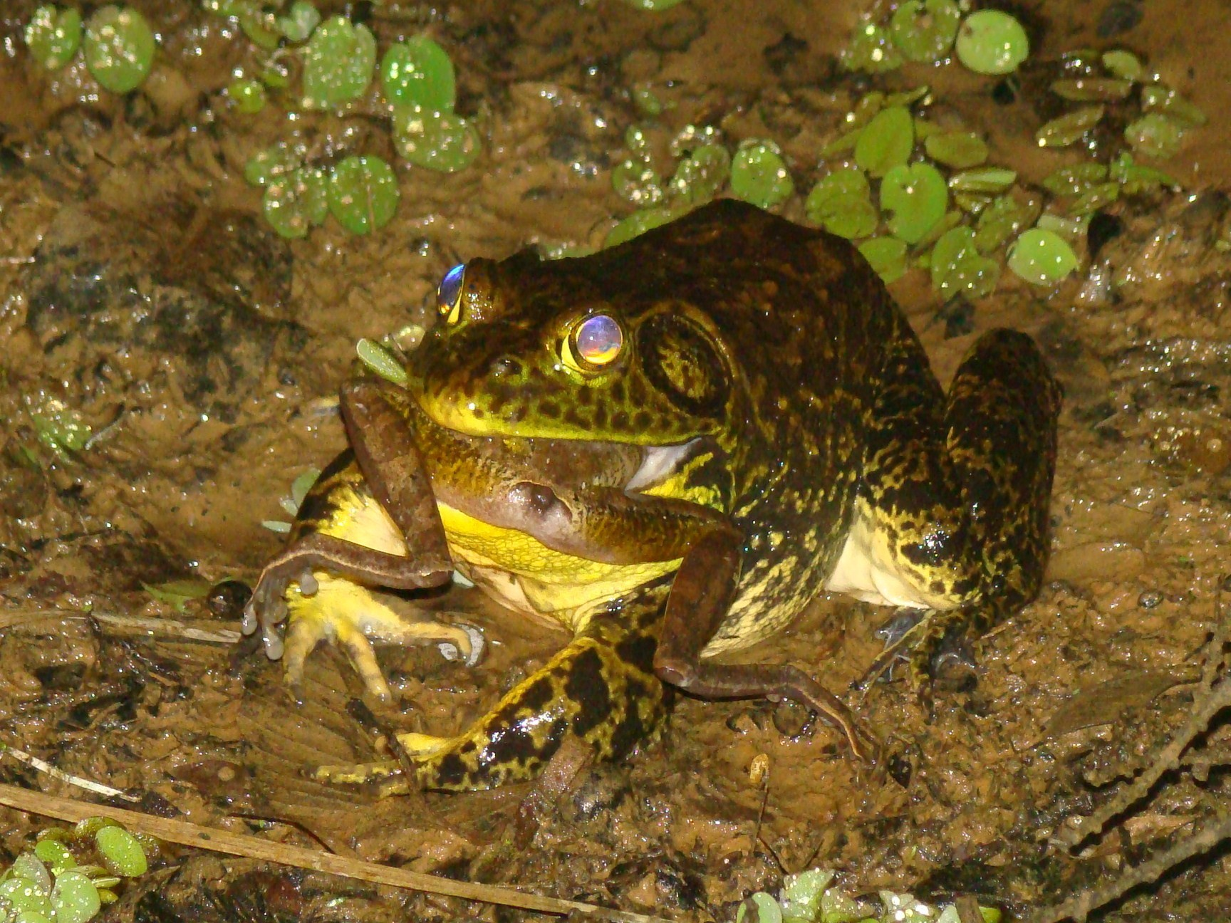 A bullfrog devouring another frog in Brazil's Atlantic Forest. The North American bullfrog is an aggressive, carnivorous species originally native to eastern North America. Bullfrogs are raised for food on frog farms in Taiwan, Brazil and Ecuador and shipped worldwide. In Brazil, bullfrogs have established feral colonies in the Atlantic Forest. The native frog in this photo is from the species Hypsiboas faber. Photo by Julia Tolledo