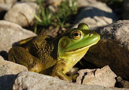 North American bullfrog. (stock image)