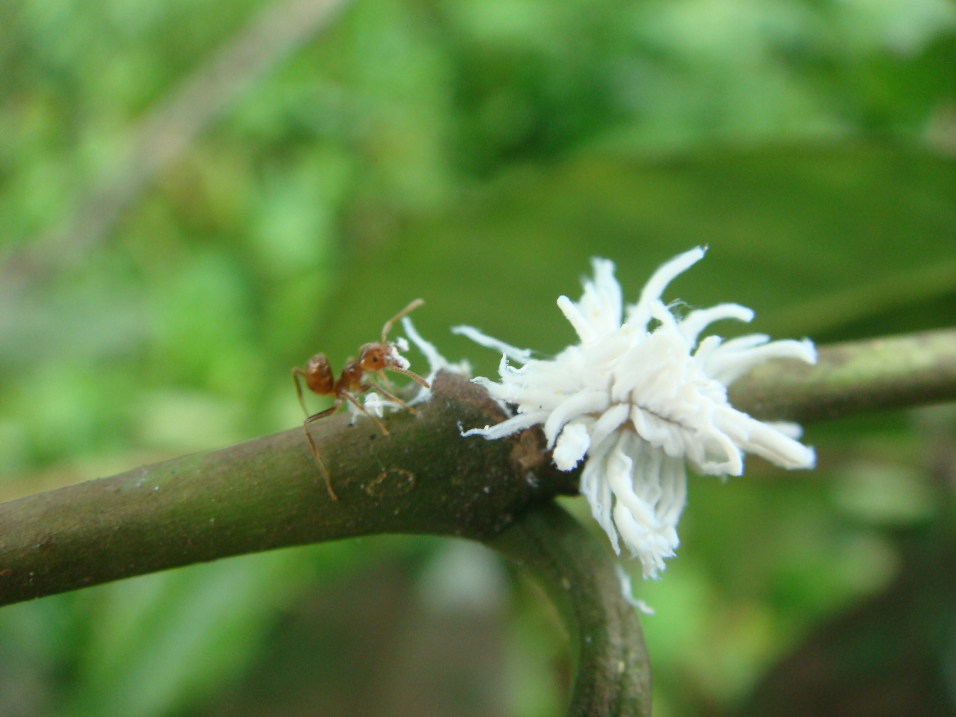 An Azteca ant attacking the larvae of a lady beetle on a coffee plant in Mexico. Lady beetle larvae are covered with waxy white filaments that protect them from ant attacks. Photo by Ivette Perfecto