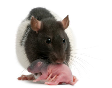Mother rat carrying a baby in her mouth. (stock image)