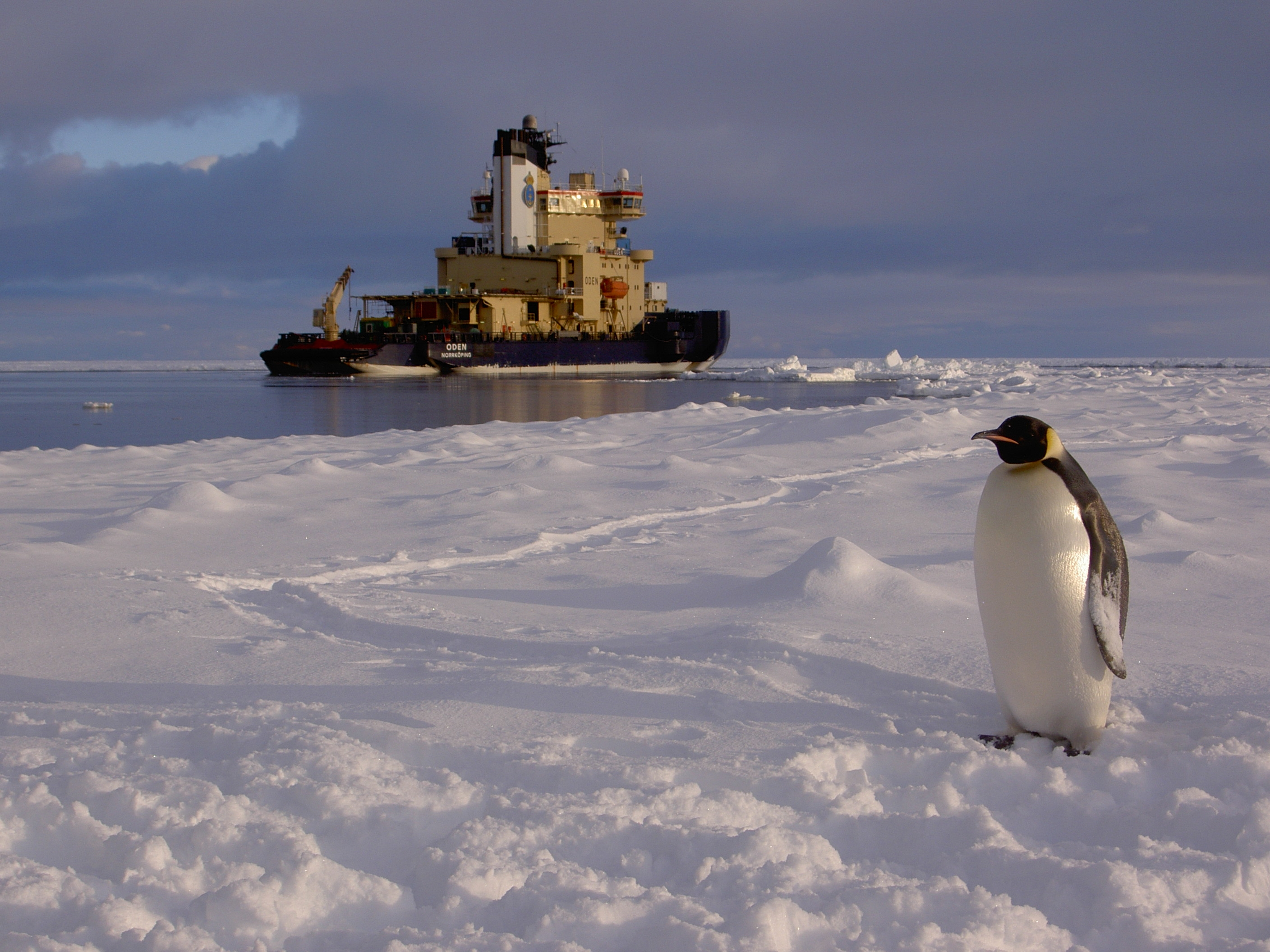 The Swedish icebreaker Oden off the coast of Antarctica, with an emperor penguin in the foreground. Photo by J. Wegelius.