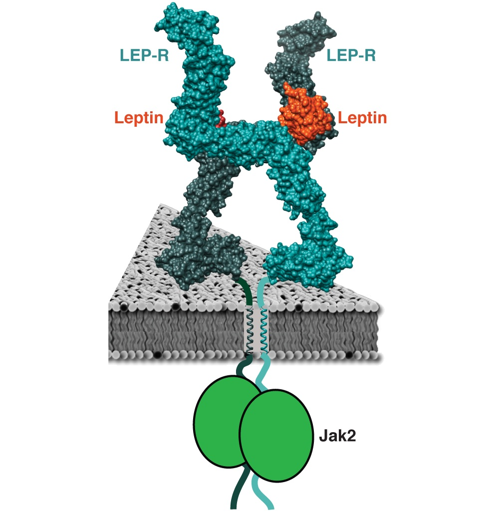 Georgios Skiniotis developed a picture of the interaction between leptin and its receptor using electron microscopy. The two legs of the receptor become rigid by binding to leptin and signal to an enzyme called the Janus kinase.