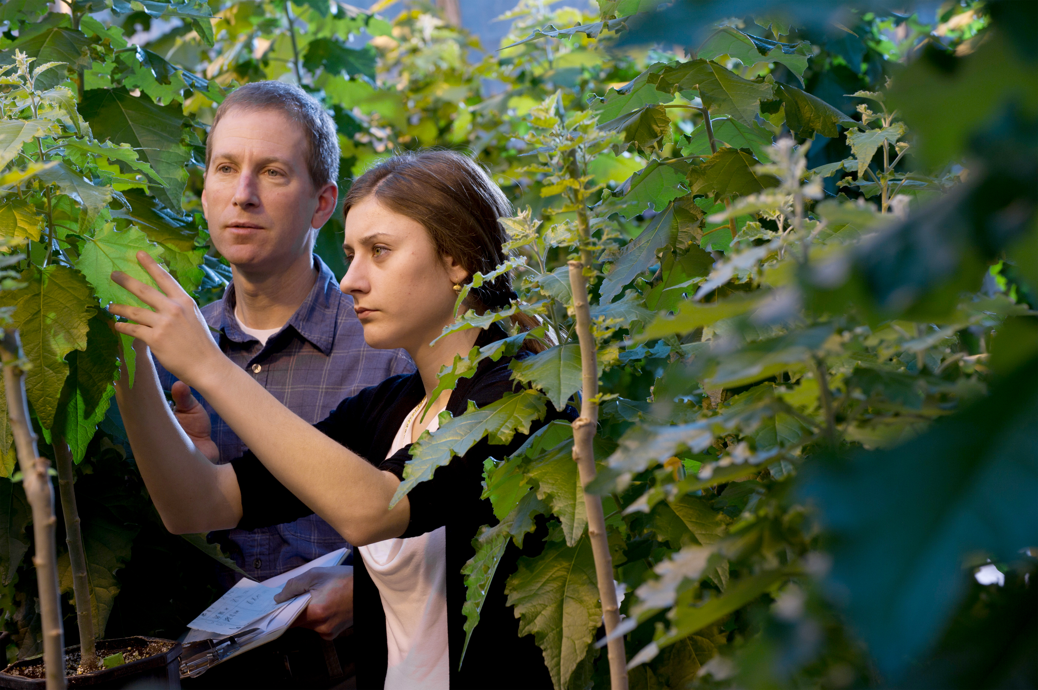 U-M biochemist Raymond Barbehenn and honors student Cristina Pecci inspect poplar trees inside the Natural Sciences Building greenhouse. Photo courtesy of the U-M Office of Undergraduate Admissions.