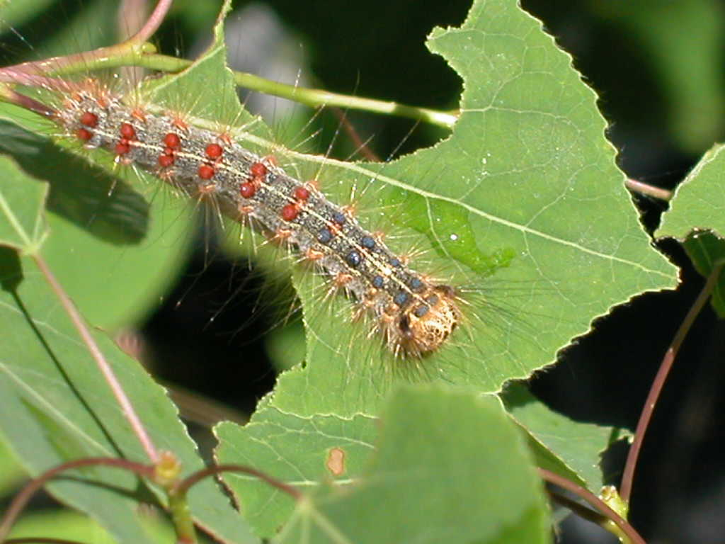 A gypsy moth caterpillar. Photo courtesy of Richard Lindroth.