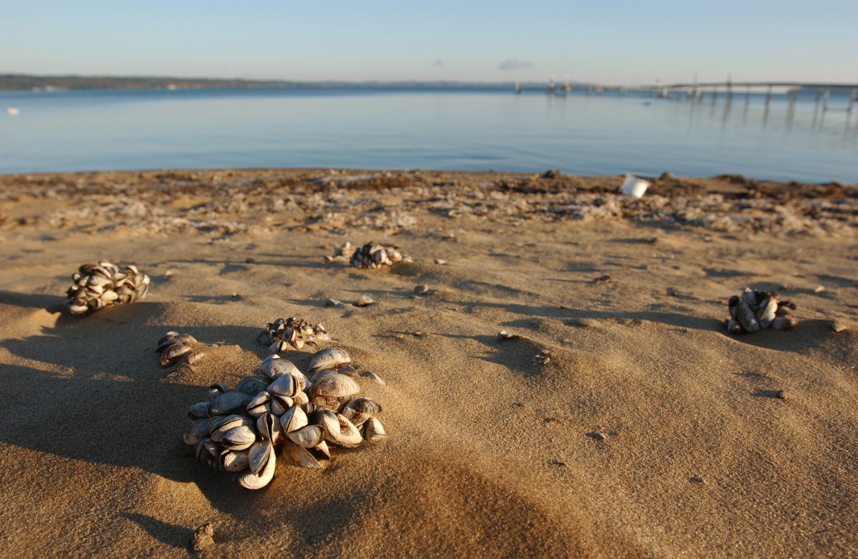 Zebra mussels. Image credit: Michigan Sea Grant