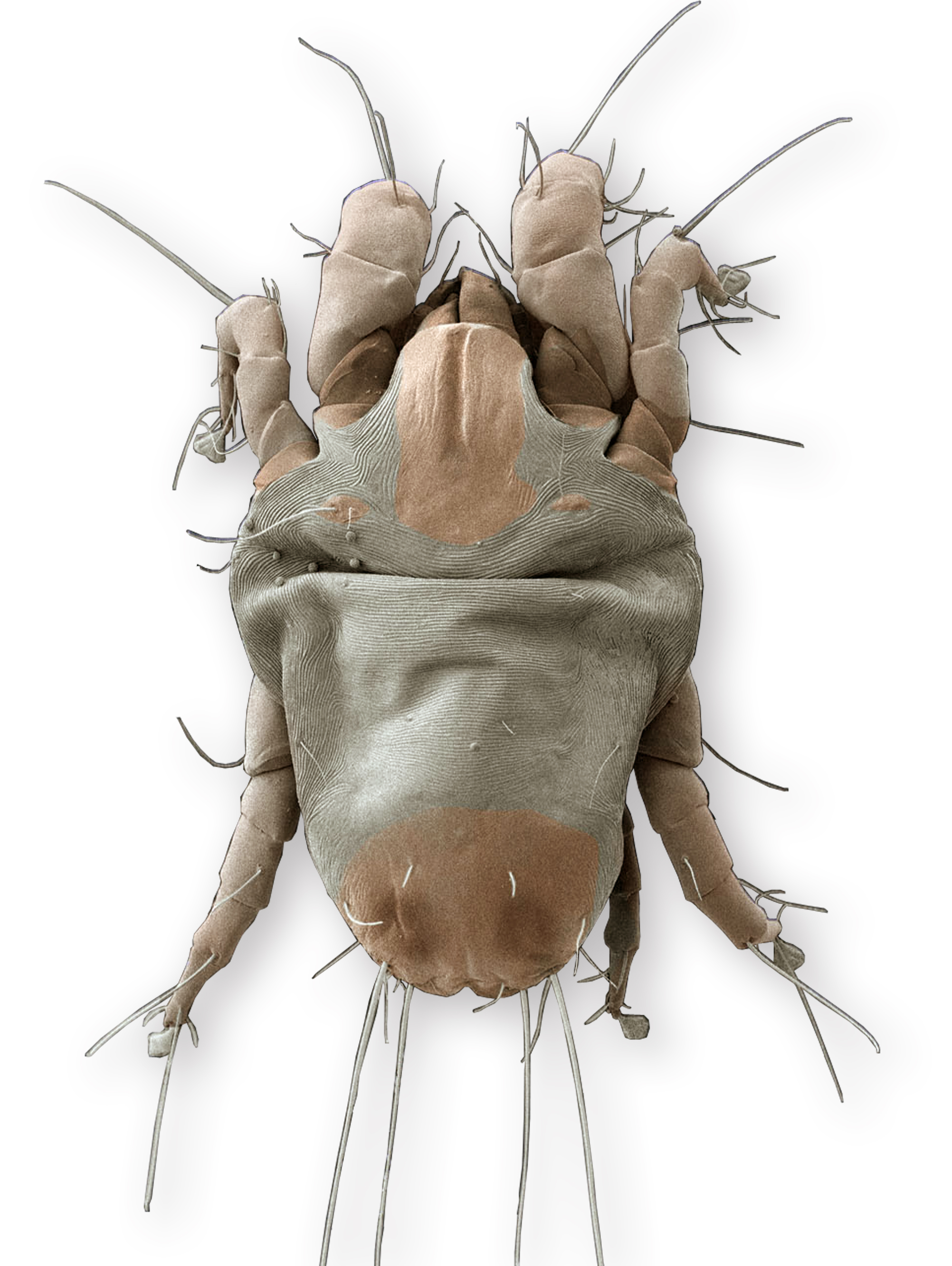 A scanning electron microscope image of an American house dust mite. Image credit: G. Bauchan and R. Ochoa