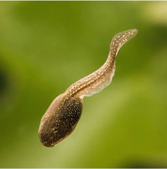 A wood frog tadpole with a normal-size tail.