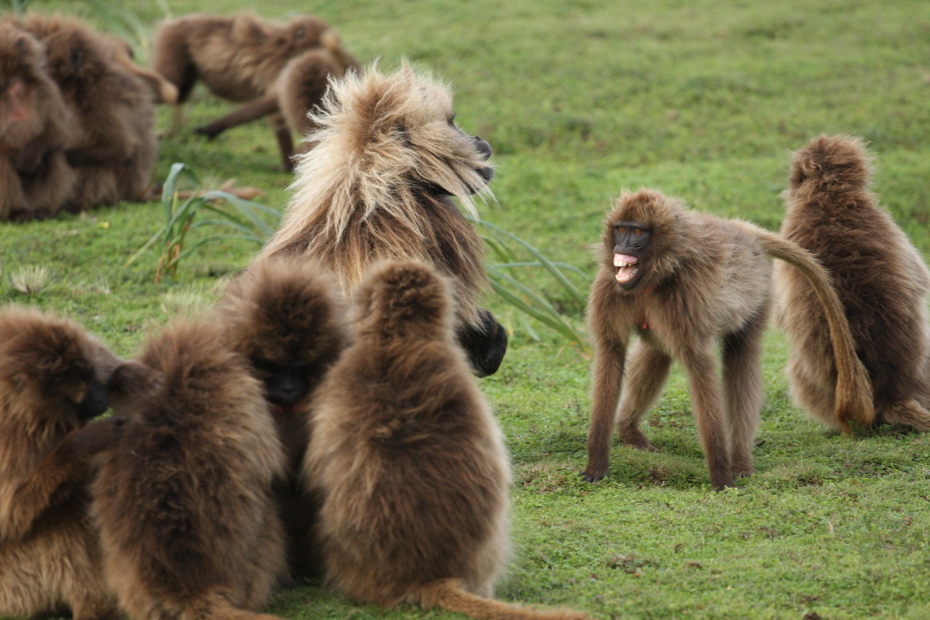 Gelada monkeys in conversation. Image courtesy: Clay Wilton