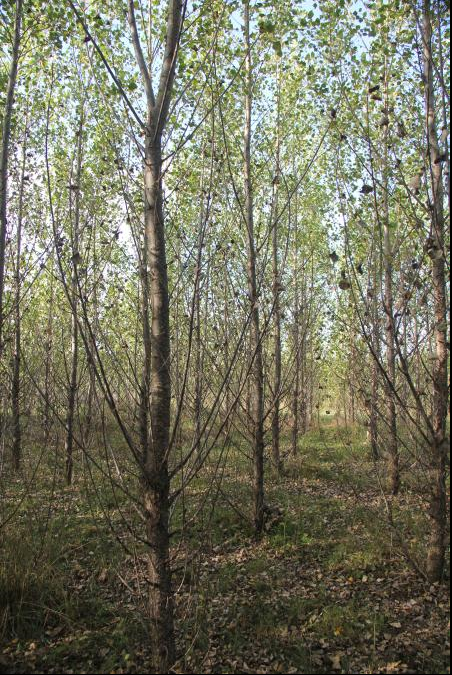 Forest plantations established on formerly non-forested land, like this experimental poplar stand in Michigan's Upper Peninsula, accumulate soil carbon that helps to offset carbon emissions and climate change. Image credit: Ray Miller