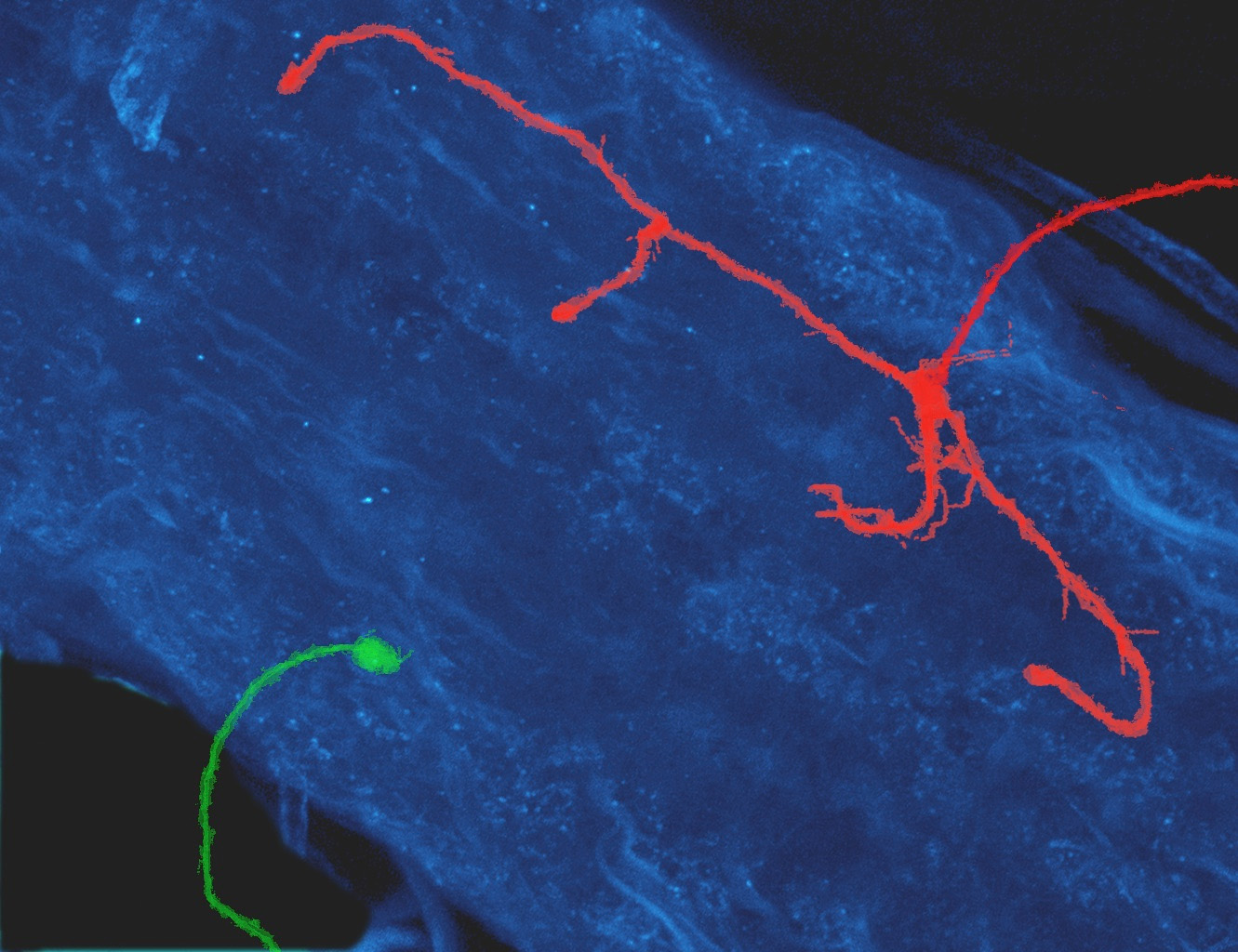 The protrusion of a neuron without Dscam protein (green) and that of a neuron with an abnormally high level of Dscam protein (red). The protrusions are overlaid on the fruitfly's equivalent of the human spinal cord (blue). Image credit: Xin Wang