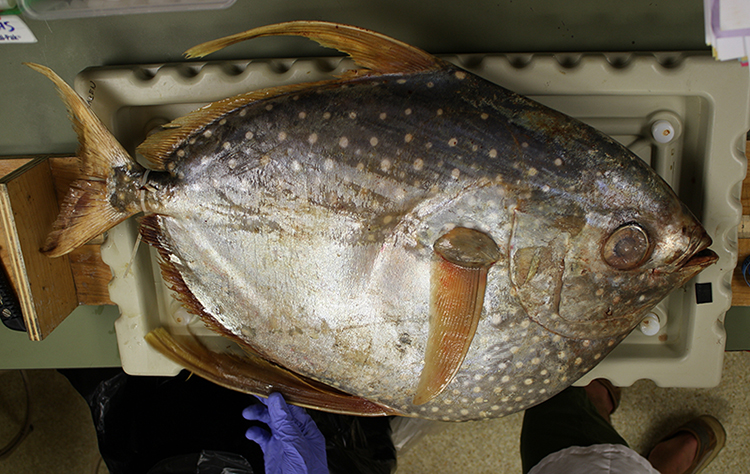 An opah, also called a moonfish. Opah first became popular as a sushi and sashimi in the late 1980s and early 1990s and are especially popular in Hawaii. Image credit: C. Anela Choy
