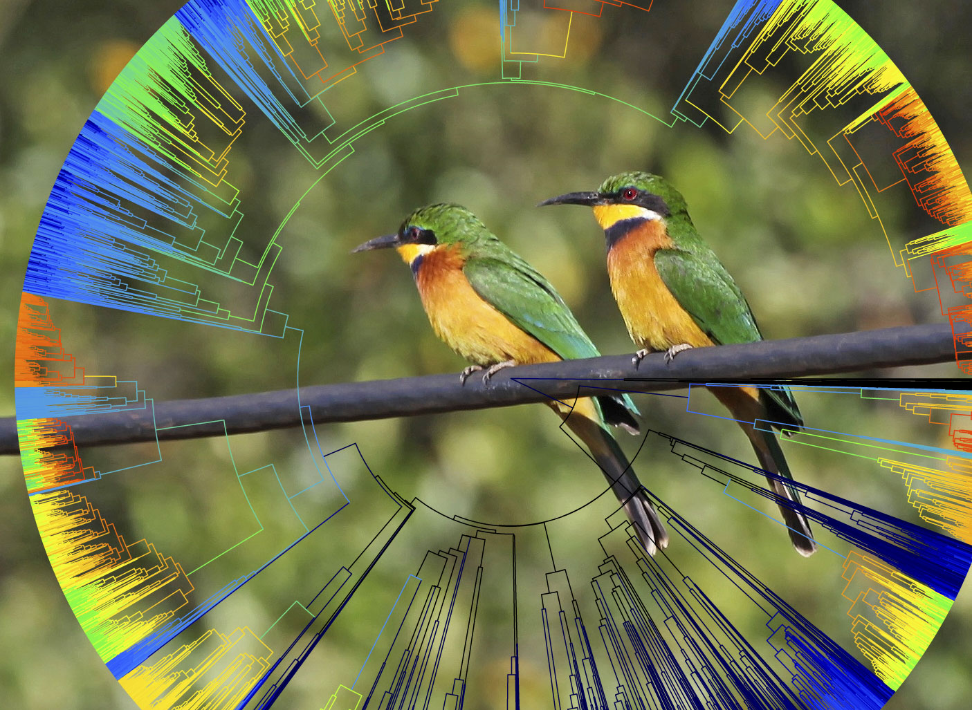 Photo of two cinnamon-chested bee-eaters superimposed on an evolutionary tree showing two-thirds of known bird species. Rabosky and Matute used the tree to test whether the ability of bird species to interbreed with other species is related to the rate at which they formed new species. Tree illustration and bird photo by Daniel Rabosky.