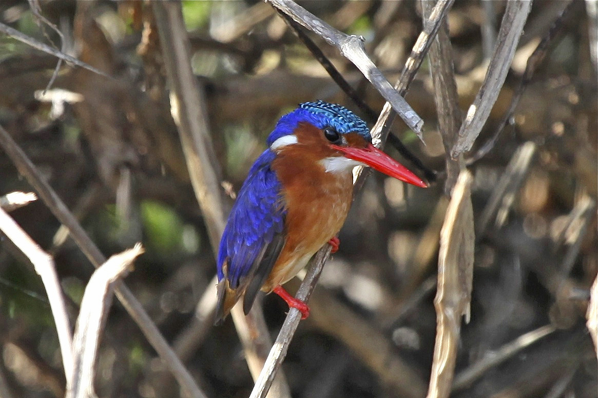 A malachite kingfisher, one of the birds from the evolutionary tree used by Rabosky and Matute to estimate rates of species formation across all birds. Image credit: Daniel Rabosky.