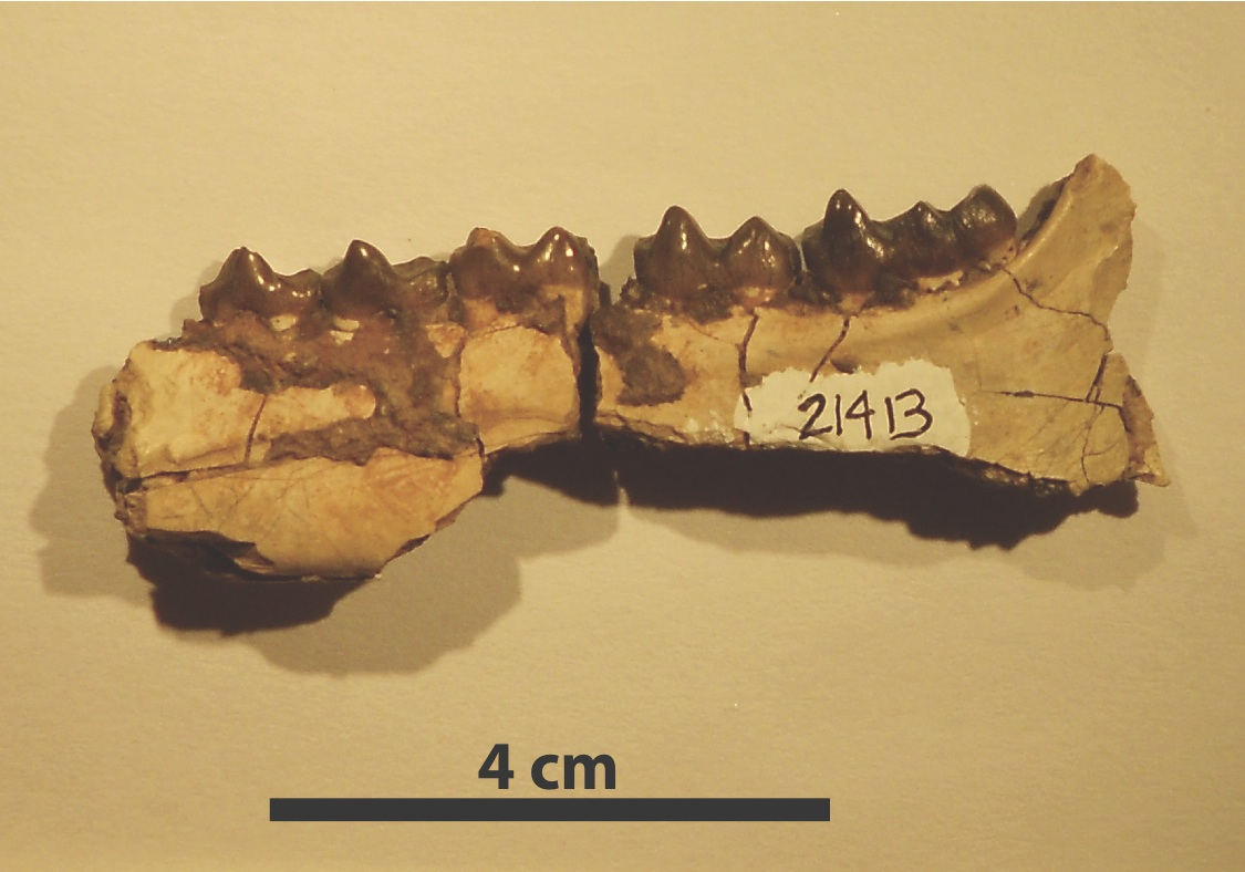 Jawbone fossil of the early horse Hyracotherium, collected in the Bighorn Basin region of Wyoming. Researchers found that Hyracotherium body size decreased 19 percent during a global warming event about 53 million years ago. Image credit: Abigail D'Ambrosia, University of New Hampshire