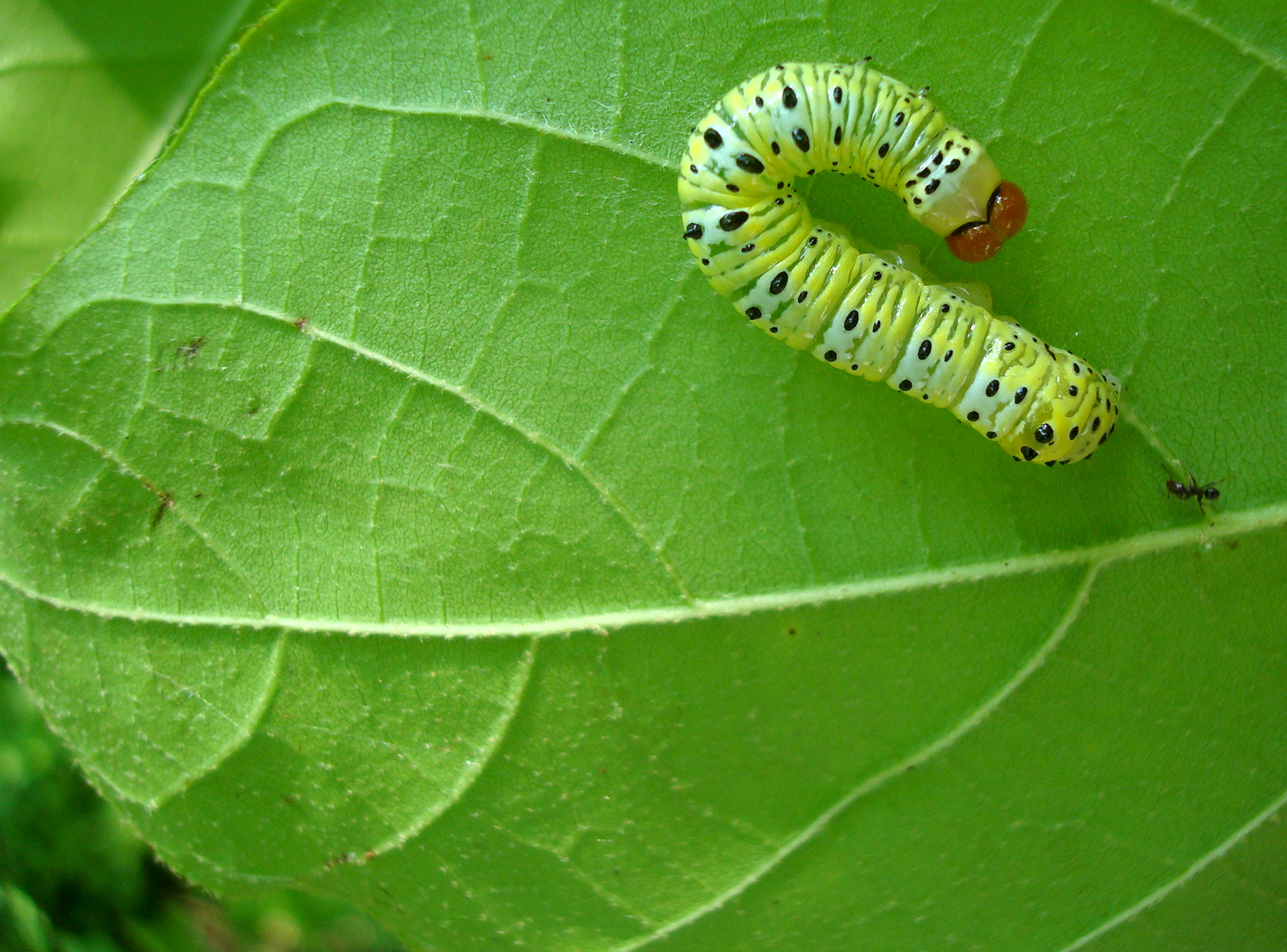 An Azteca ant approaches a caterpillar on an Ecuador laurel leaf in Jalisco, Mexico. Once the ant finds a caterpillar, it recruits nestmates to the leaf, and they bite the caterpillar's underside. Larger ant colonies send more ants to attack such intruders. Together, the ants can chase caterpillars many times their size from the tree. Image credit: Elizabeth G. Pringle