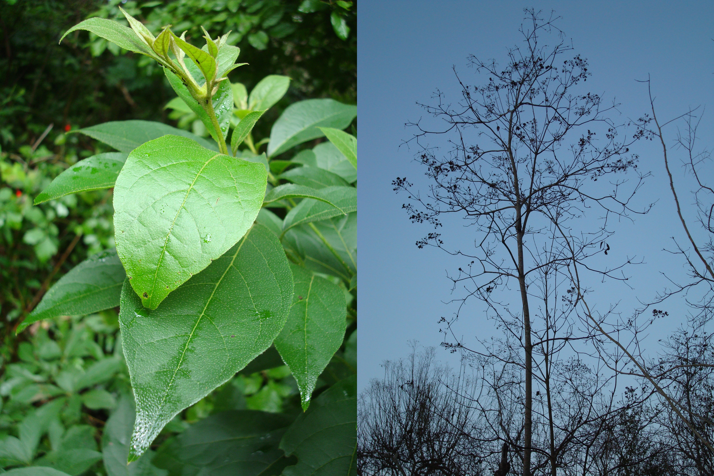 Ecuador laurel trees in the wet season (left) and dry season. Azteca ants are visible on the upper leaves in the photo on the left. The trees grow new leaves each rainy season, and those leaves produce the tree's carbon-based food. In tropical forests where water is scarce, laurel trees make less carbon and pay ants more to protect their leaves. Image credit: Elizabeth G. Pringle