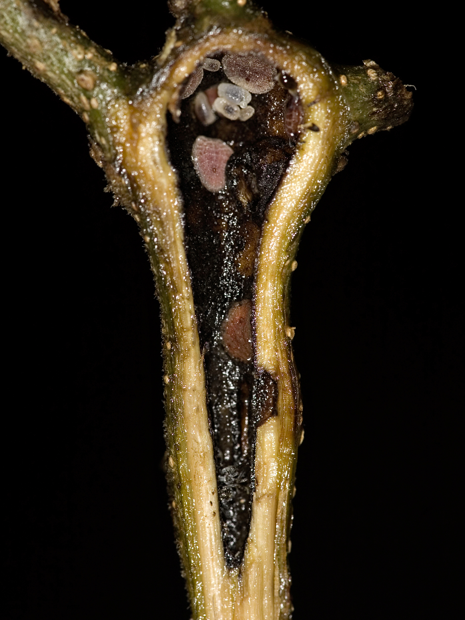 Cross-section of an Ecuador laurel stem cavity, where Azteca ants nest. An adult tree has hundreds of stem cavities, and a single colony of Azteca ants typically occupies all the cavities in a given tree. Pink scale insects feed on sap from the laurel stem and produce sugar for the nesting ants. Adult ants are approximately the same size as their larvae, which are visible in this photo — taken in Costa Rica — as white rods at the top of the cavity. Image credit: Jeffrey C. Miller