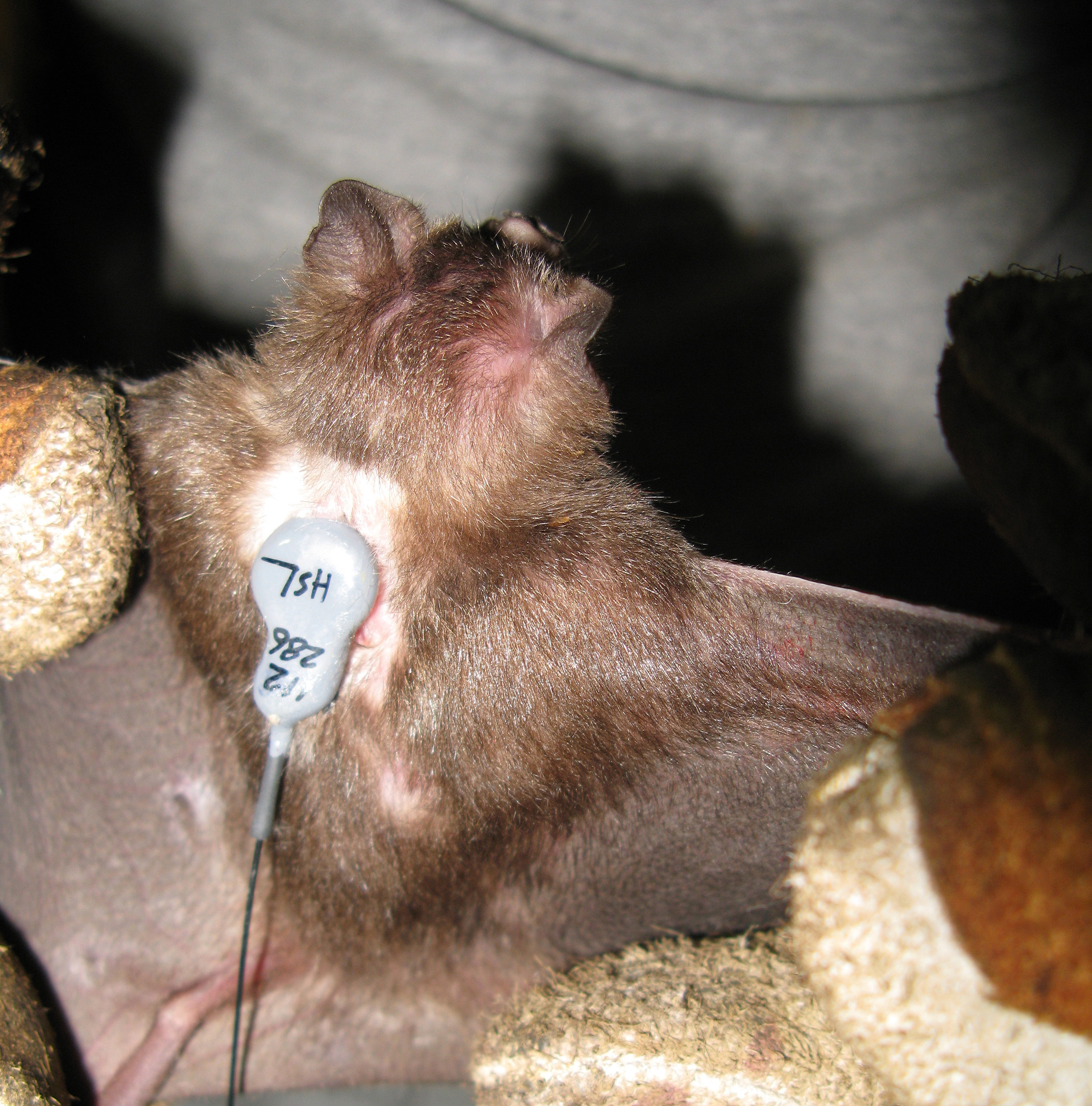 A vampire bat with a radio transmitter attached. The devices were used to track bats back to their roosts in the Amazon. Photo by Daniel Streicker