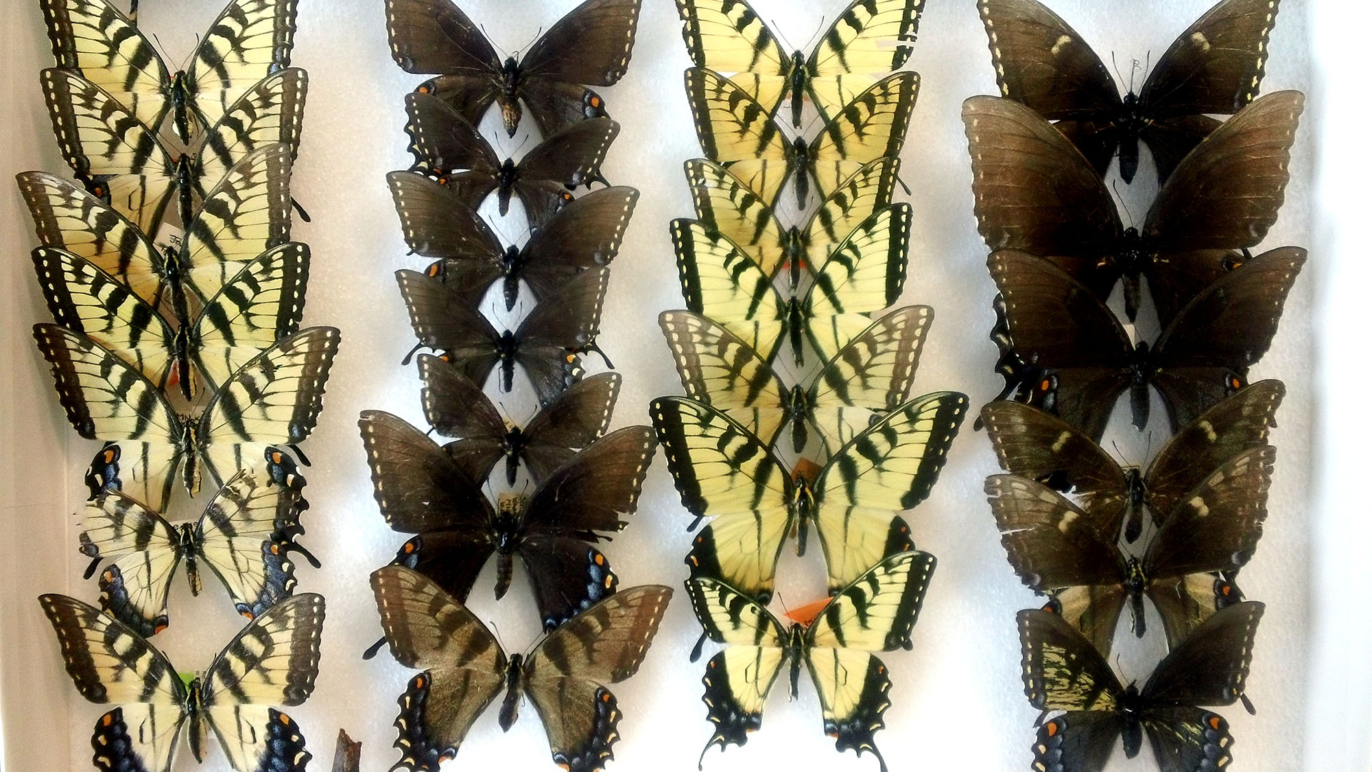 A drawer of eastern tiger swallowtail butterflies at the University of Michigan Museum of Zoology. The butterflies were collected at various locations in the eastern United States. Image credit: Mark O'Brien