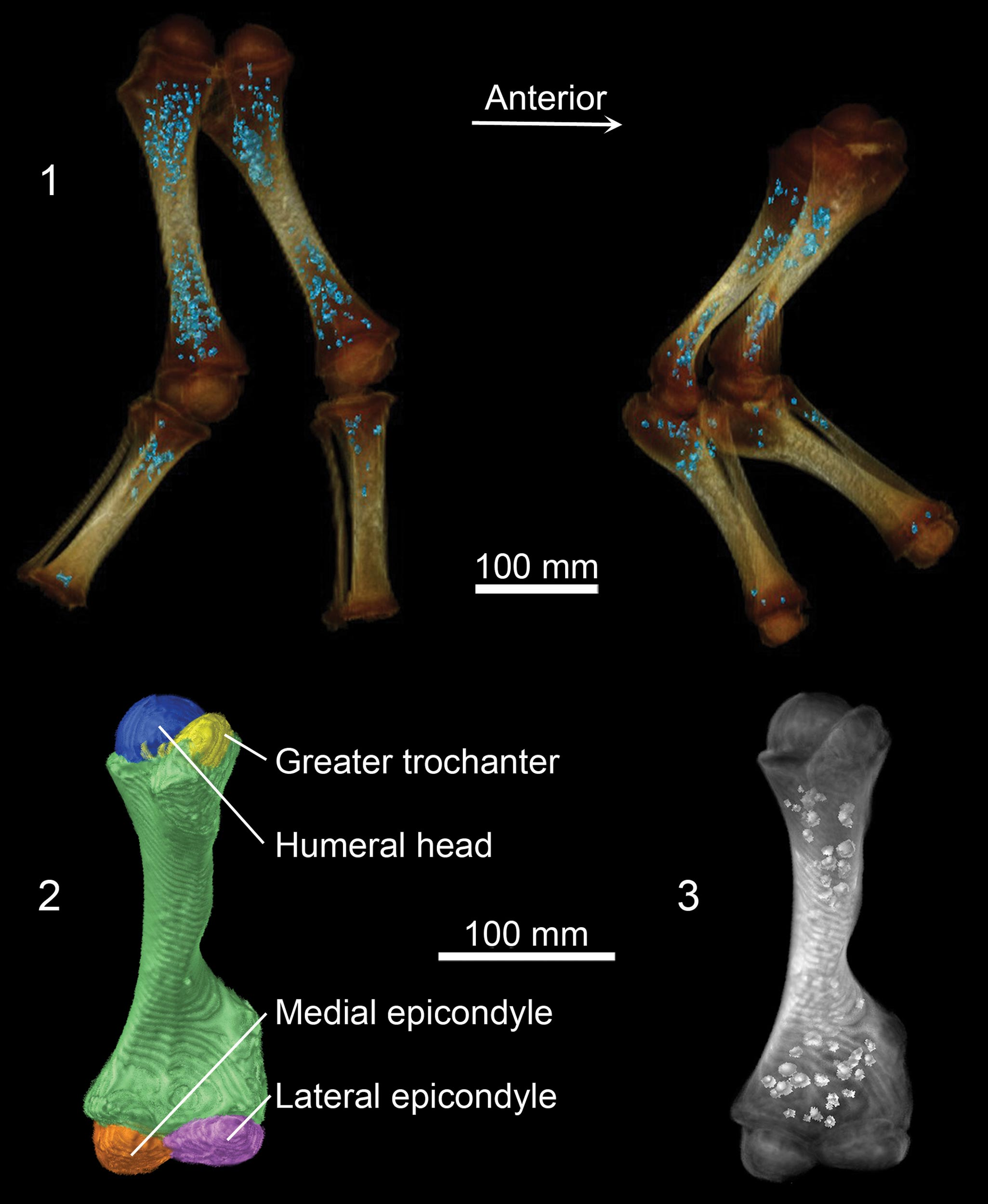 CT images showing Lyuba's hind legs (top left) and front legs (top right). Bone shafts that are already well-hardened are white, and poorly mineralized ends of bones are brown. Blue dots within leg bones represent an iron phosphate mineral that follows the location of iron stores related to hemoglobin production while the calf was alive. Bottom images show Lyuba's developing left humerus, or upper arm bone. Reflective spheroids on lower right image show location of iron phosphate mineral in this bone. Image credit: University of Michigan Museum of Paleontology