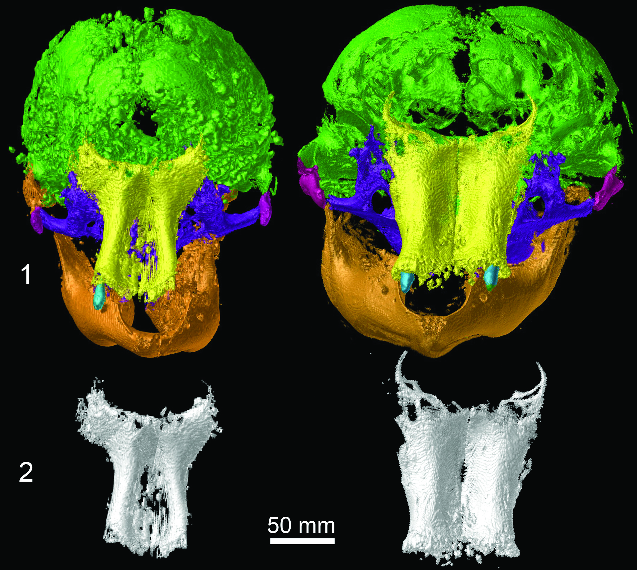 CT images showing a side-by-side comparison of skulls from Lyuba (left) and Khroma, with bones of the front of the skull shown below. Image credit: University of Michigan Museum of Paleontology