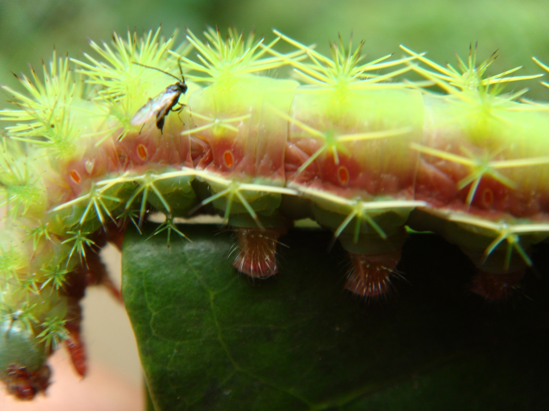 Parasitic wasp lays eggs inside a coffee-eating caterpillar in Chiapas, Mexico. Image credit: John Vandermeer