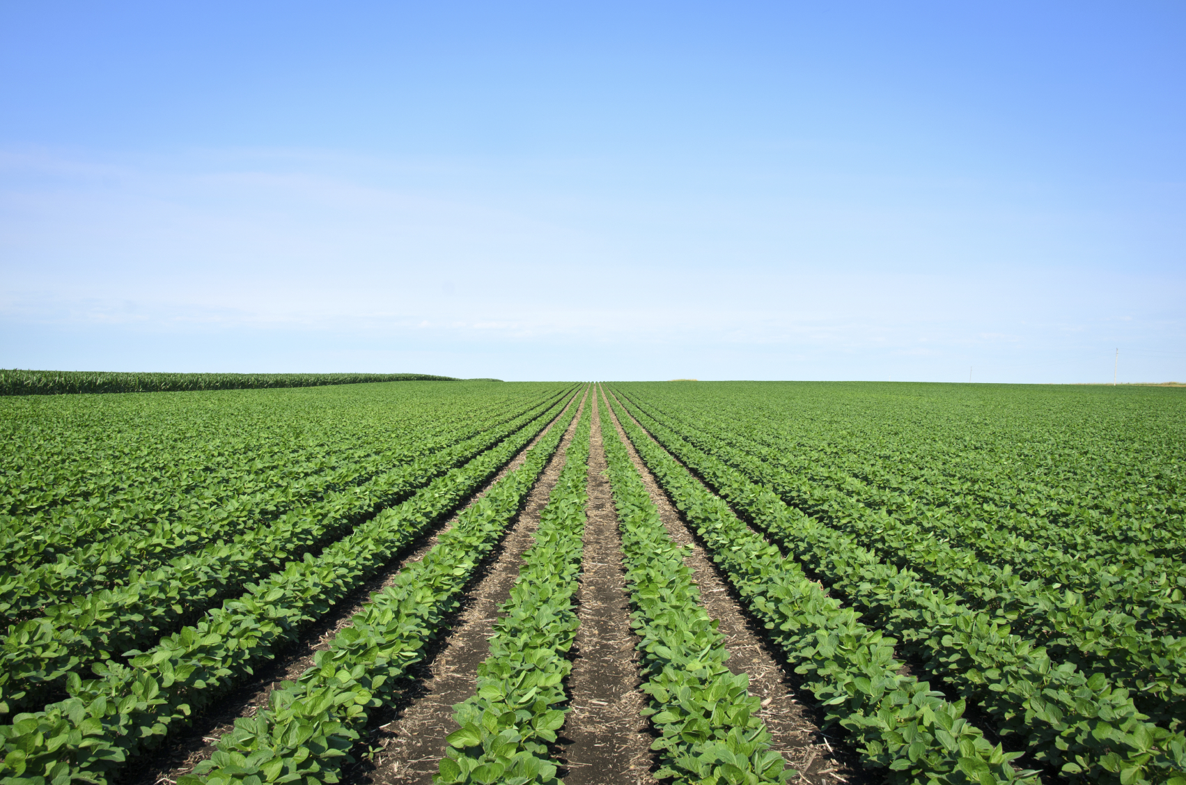 Rows of Iowa soybeans. (stock image)