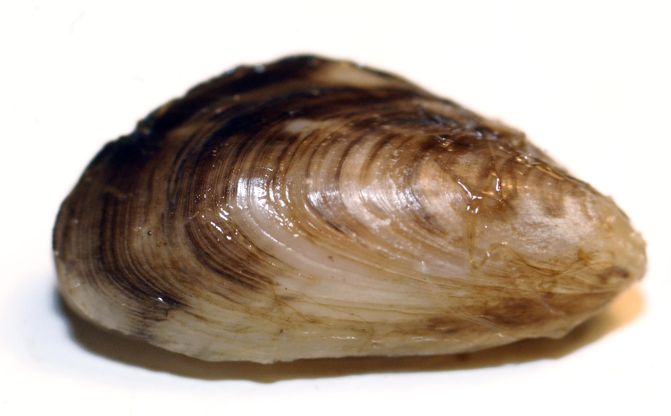Quagga mussel. Image credit: Dave Brenner, Michigan Sea Grant