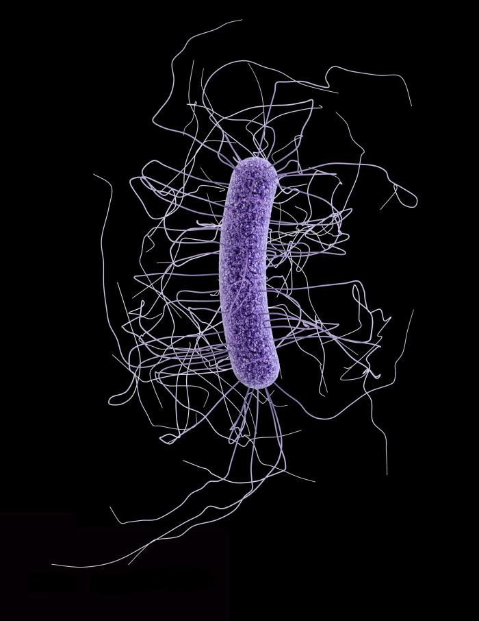 A single cell of the Clostridium difficile bacteria that sicken hundreds of thousands of Americans each year  Image credit: Centers for Disease Control and Prevention
