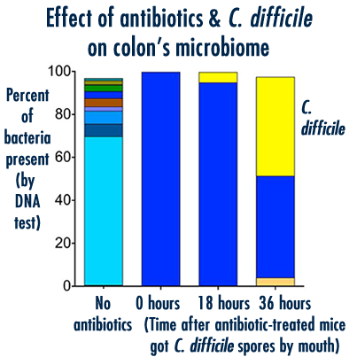 The combination of antibiotics and C. difficile infection completely changed the microbiome - or community of bacteria - in the colon. The left column shows the DNA of many species of bacteria was present without antibiotics; the right three show how first antibiotics, and then C. difficile, changed the population.