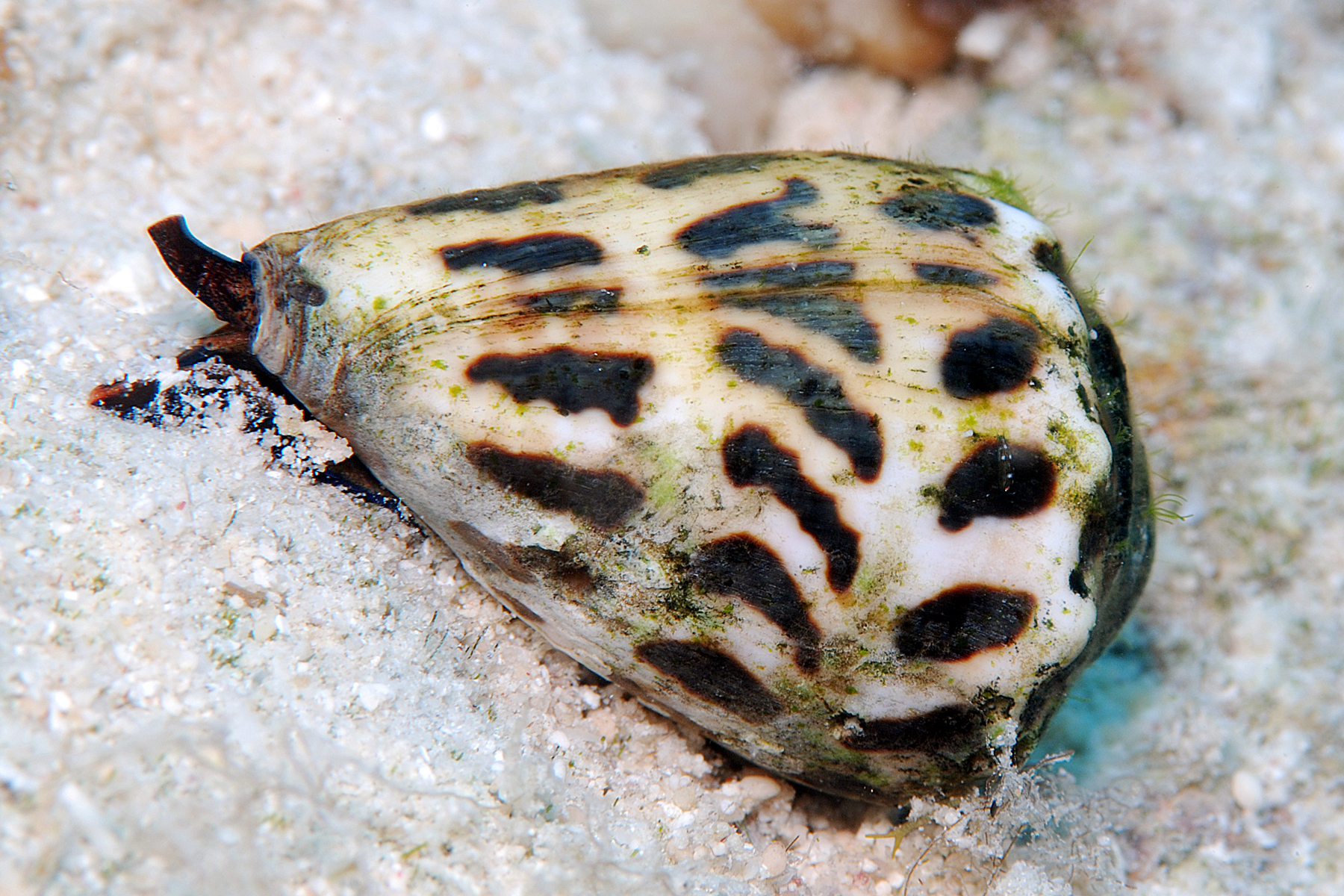 A Hebrew cone snail, Conus ebraeus, searching for food on a reef. Populations of C. ebraeus refine their venom based on the the composition and diversity of local prey species. Image credit: Jeanette Johnson