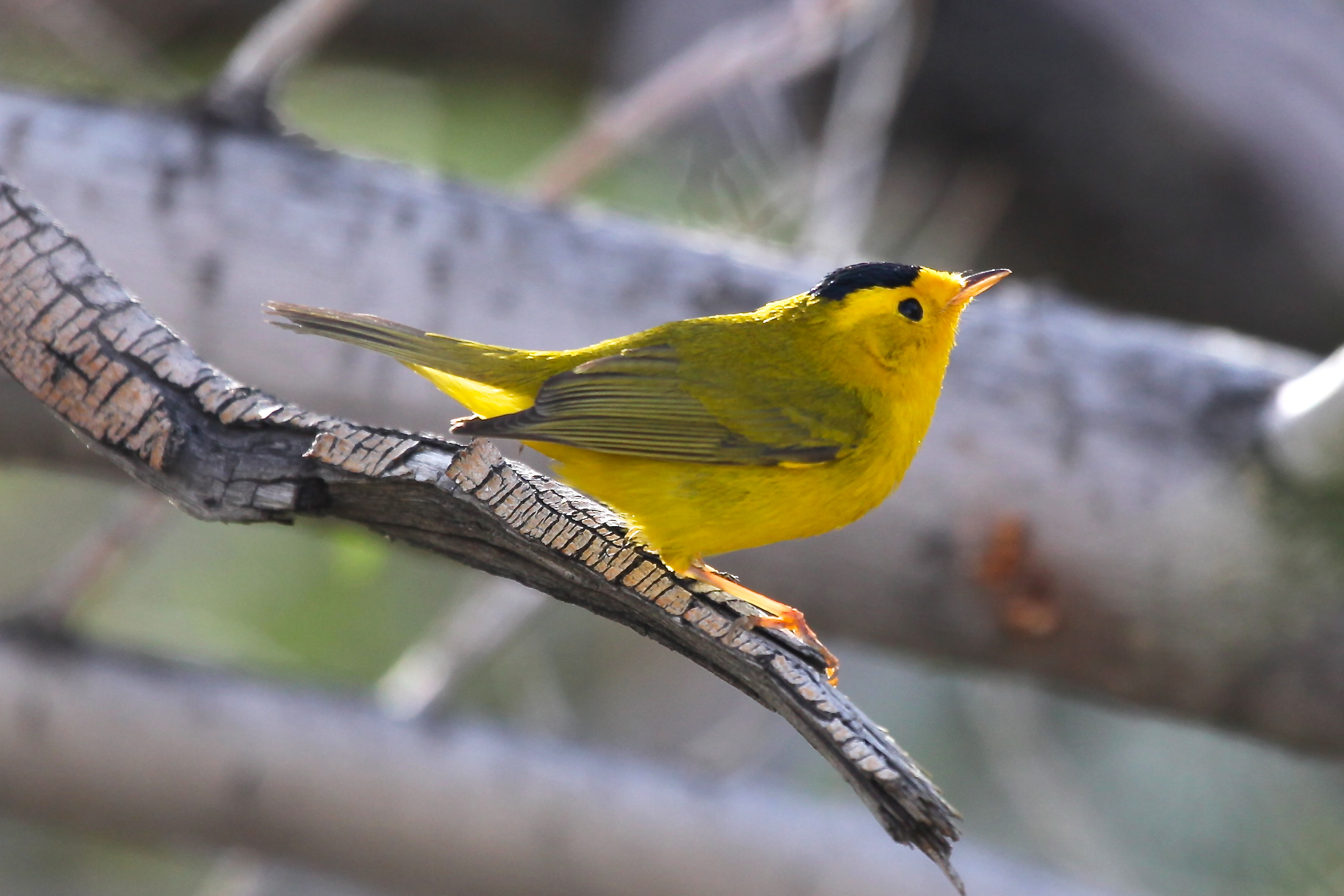 A Wilson's warbler, a species of New World bird that breeds in the temperate zone but winters in Central America. It is one of the more than 2,500 bird species analyzed in a new University of Michigan study. Image credit: Dan Rabosky