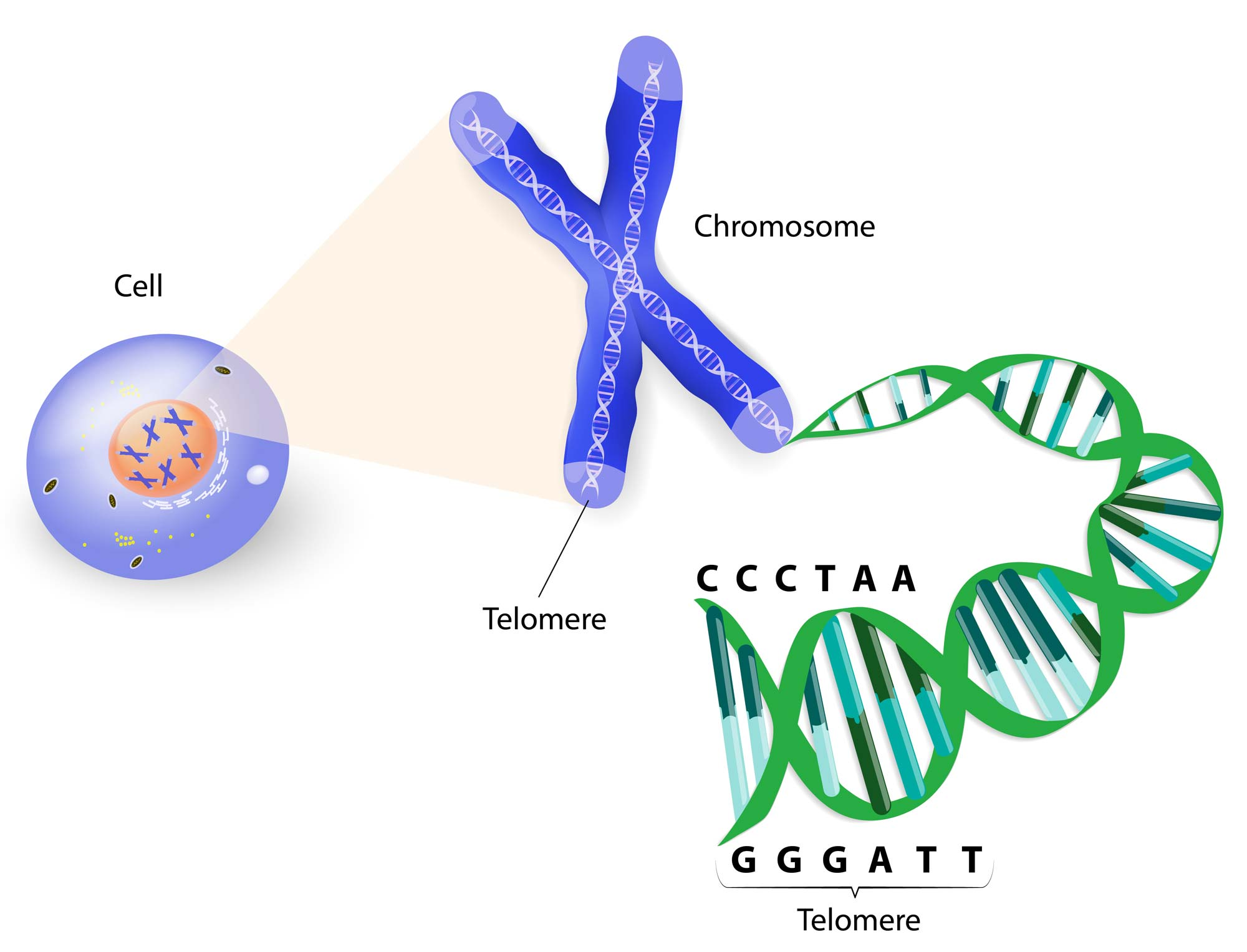 A telomere is a repeating sequence of double-stranded DNA located at the ends of chromosomes. Each time a cell divides, the telomeres become shorter. Eventually, the telomeres become so short that the cell can no longer divide. (stock image)