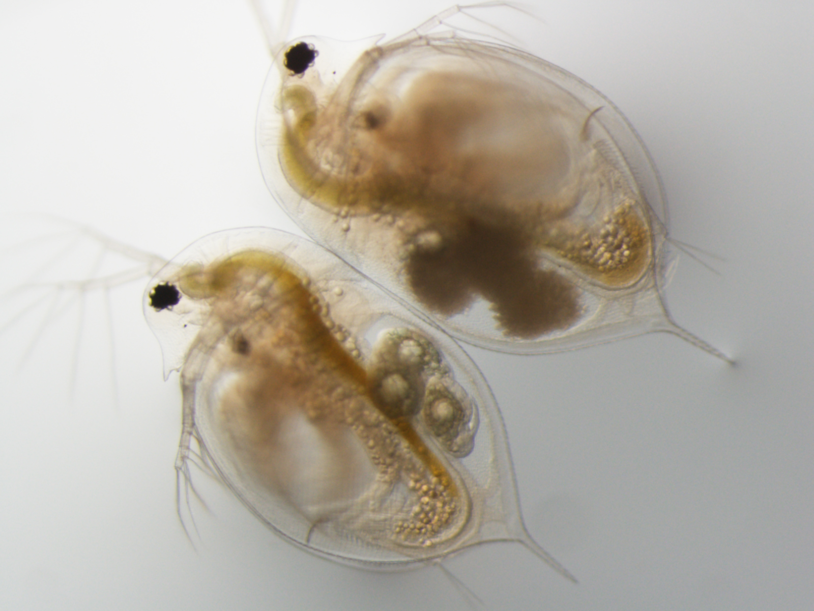 This bright-background microscope image shows two sand grain-size Daphnia crustaceans. The one on the left has three healthy embryos in its brood chamber. The one on the right has three embryos that have been attacked by the virulent parasite Blastulidium paedophthorum. Image credit: Meghan Duffy