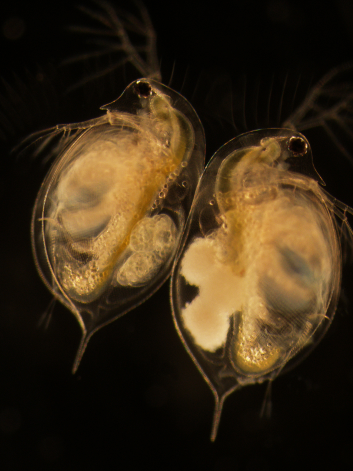 This dark-background microscope image shows two sand grain-size Daphnia crustaceans. The one on the left has three healthy embryos in its brood chamber. The one on the right has three embryos that have been attacked by the virulent parasite Blastulidium paedophthorum. Image credit: Meghan Duffy