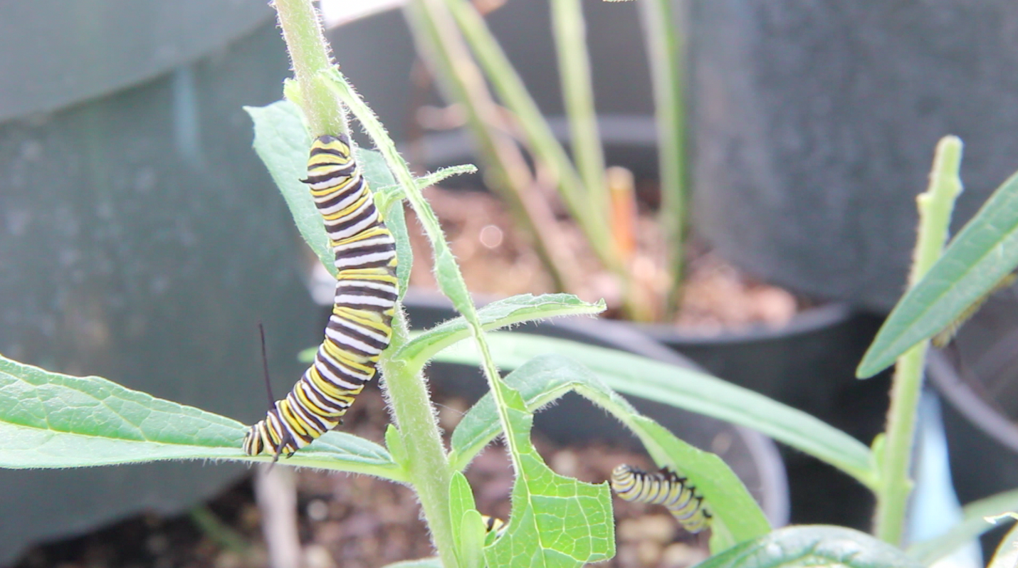 Monarch butterfly caterpillars on milkweed plants at the U-M Biological Station.
