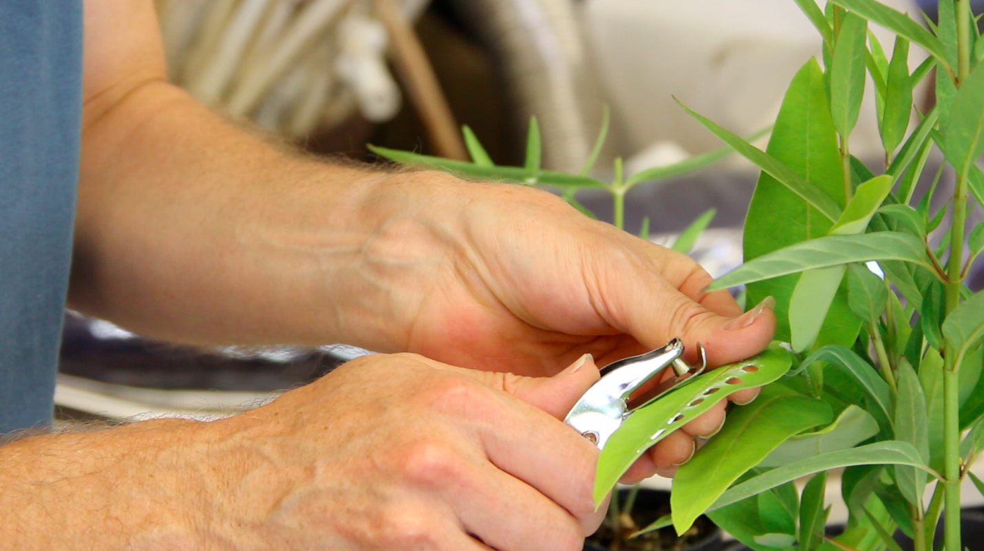 Quarter-inch-diameter disks are removed from milkweed leaves with a paper punch. Parasite spores are placed on the leaf disks, which are then fed to monarch caterpillars.