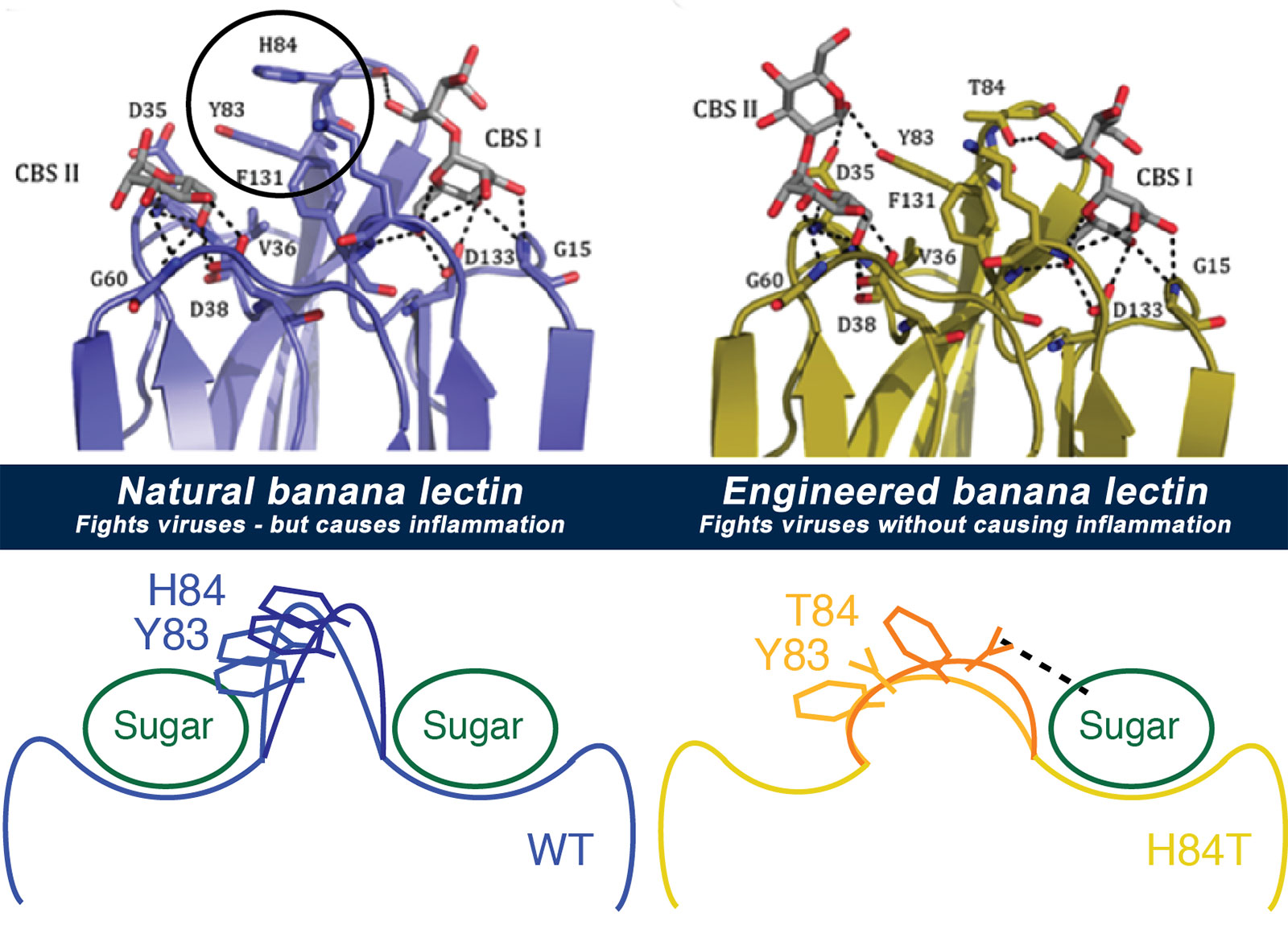 By studying the banana lectin molecule (top left) and what made it bind to both viruses and immune system cells (bottom left), the team was able to figure out how to change the way cells bind to it, to make a new version (top right) that still binds viruses but doesn't cause inflammation (bottom right).